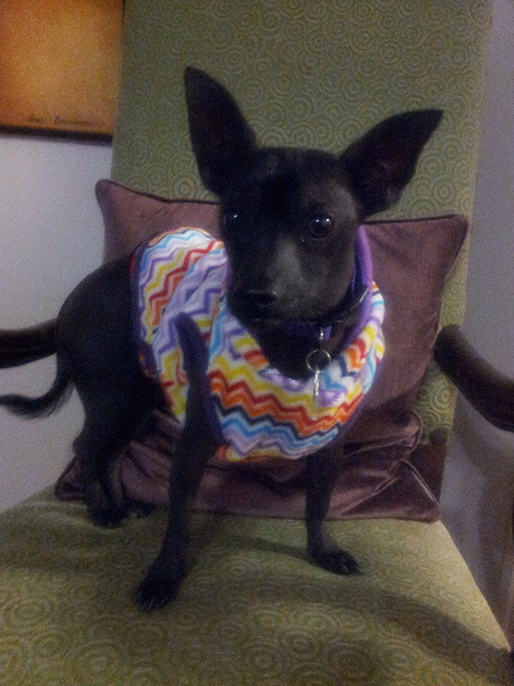 Flaco- Adoptable Mini Xolo in Dallas, TX @ Xolopbr.com