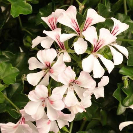 Epingle Sur Begonia My Love