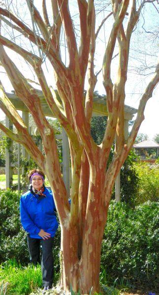 Cratemurtle Tree Pruned Google Search Crape Myrtle Myrtle Tree Crepe Myrtle Trees