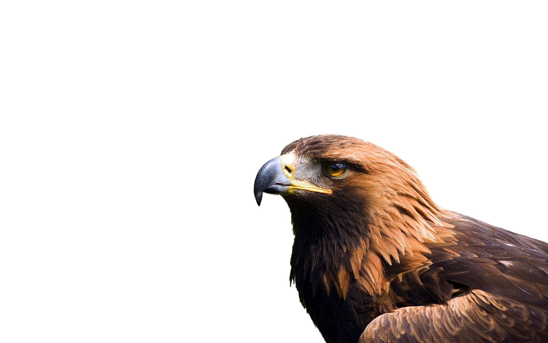 golden eagle | Eagles | Pinterest | Golden eagle and Eagle wallpaper