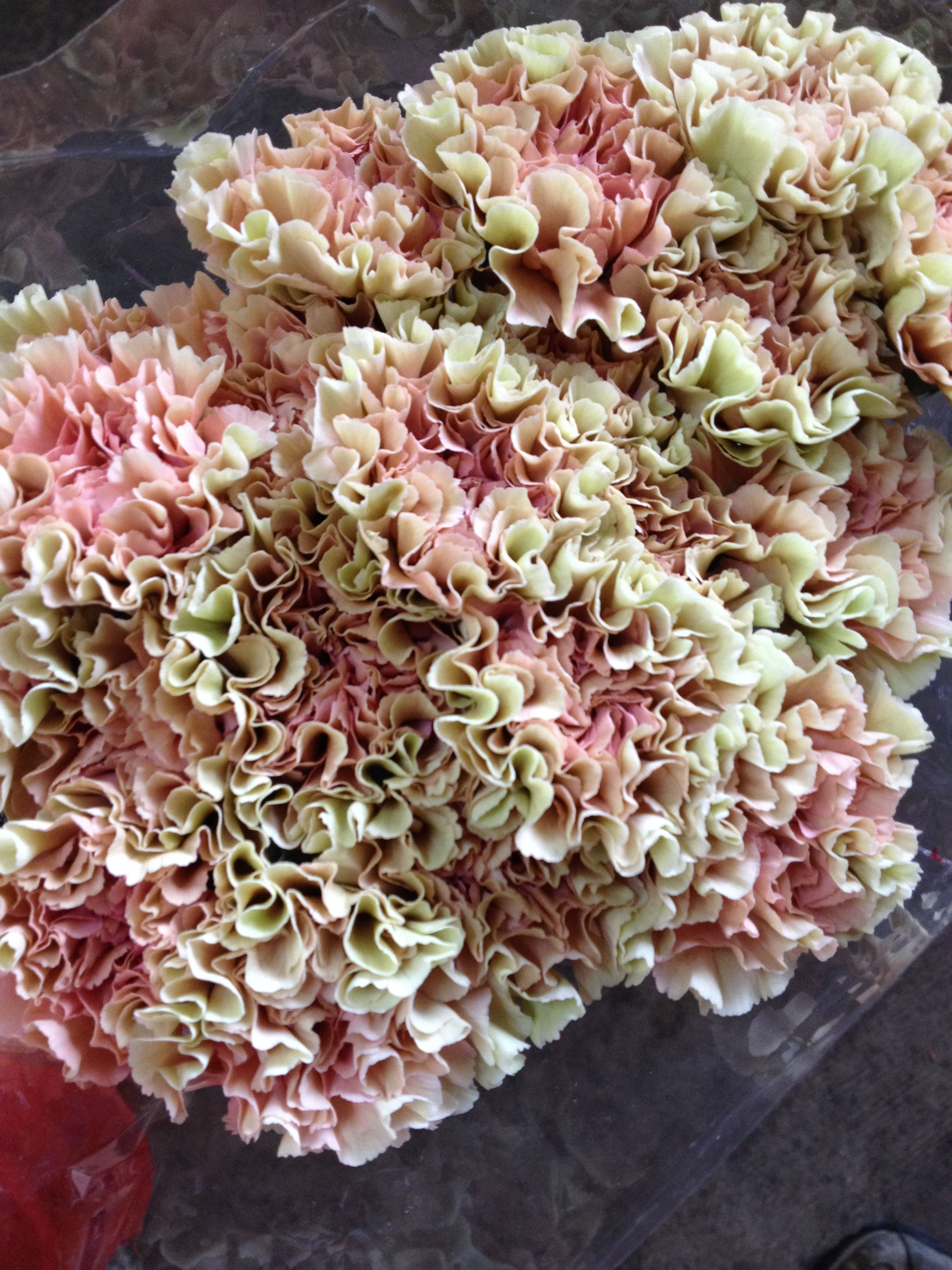 Pretty edged Carnation called 'Jodie'...Sold in bunches of