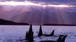 Resultado de imagem para save the orcas