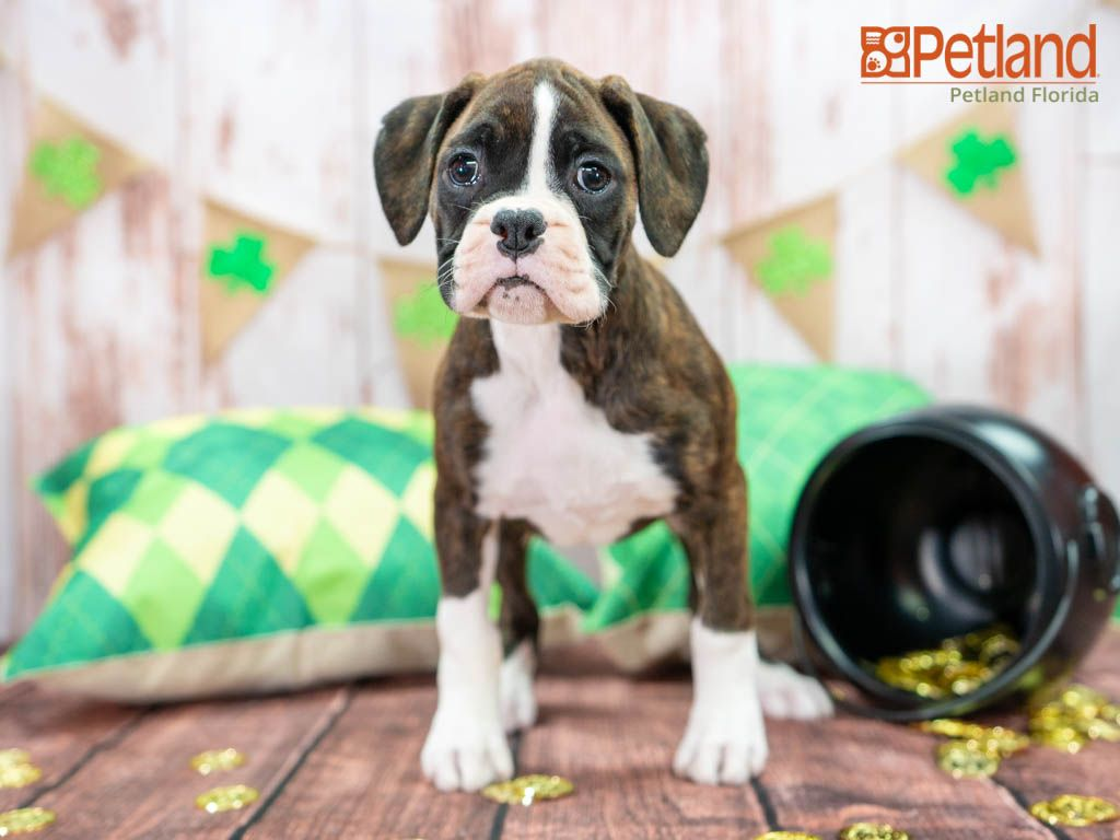 Puppies For Sale Boxer Puppies Cute Animals Puppies