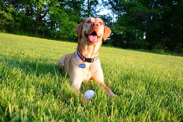Spring time baseball weather (Yellow Labrador Retriever