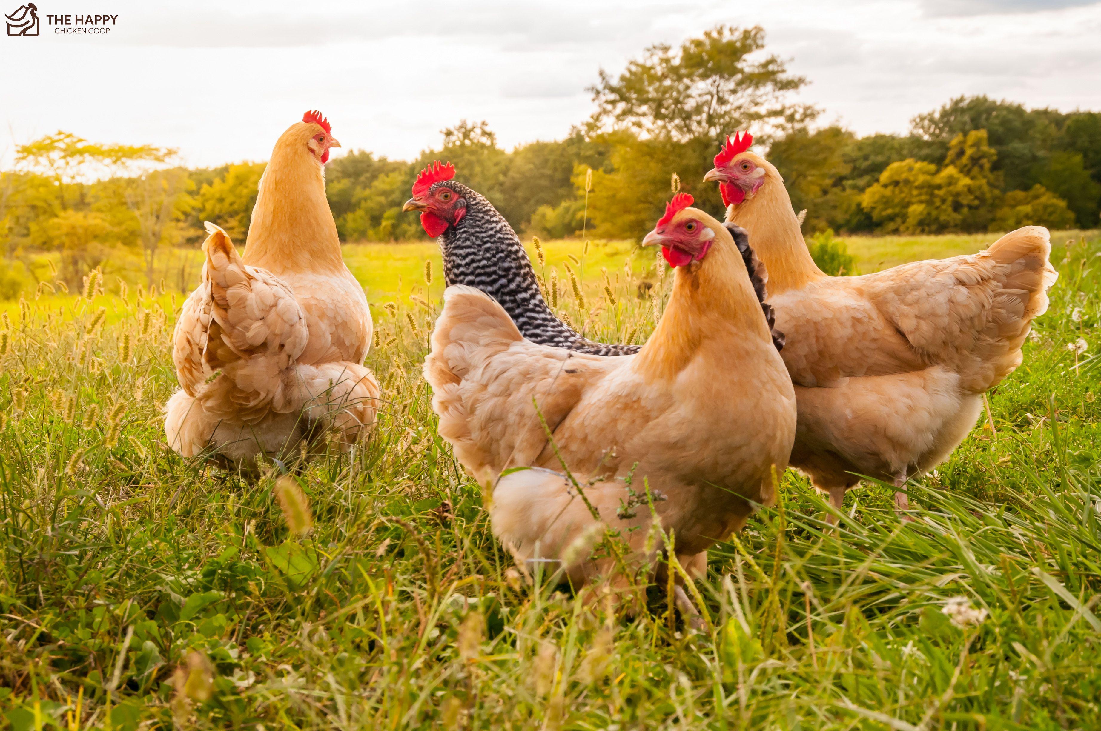 Free Range Chickens in 2020   Chickens backyard, Raising ...