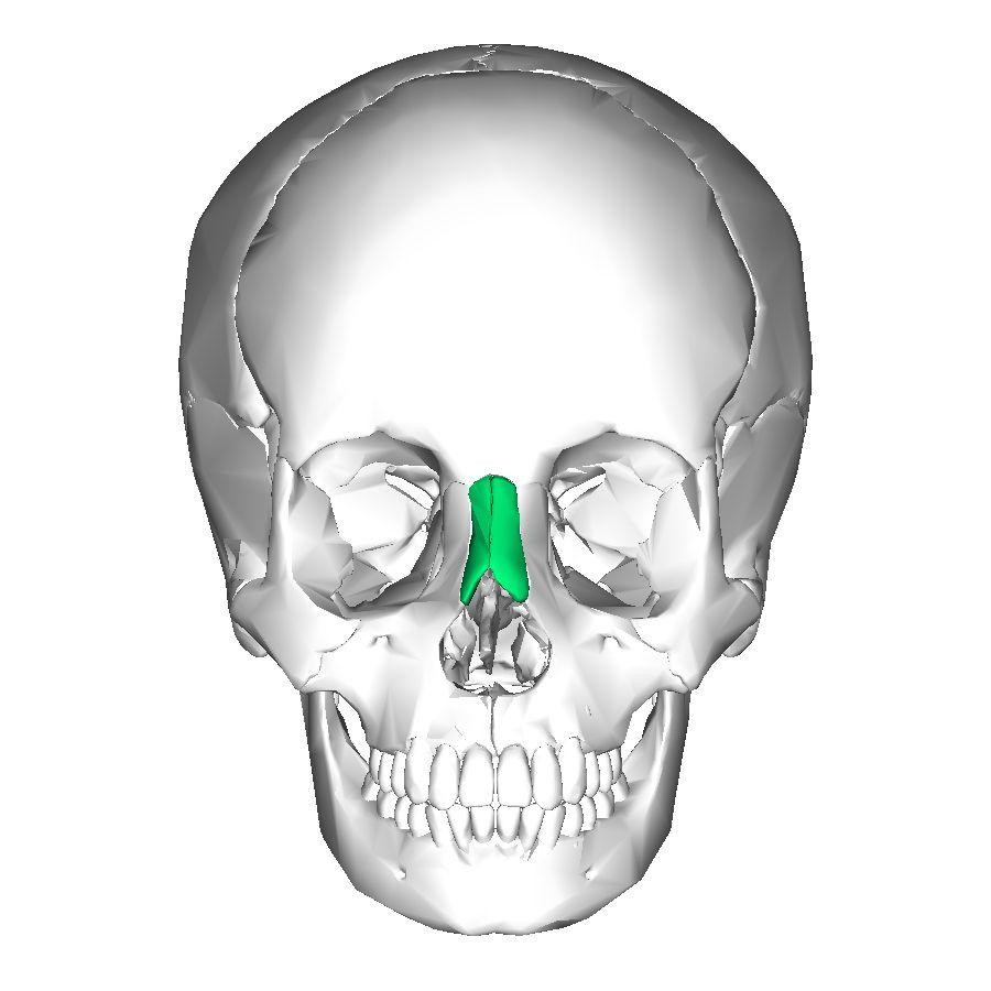 Nasal bones: 2 bones . Lie side by side between frontal process of ...
