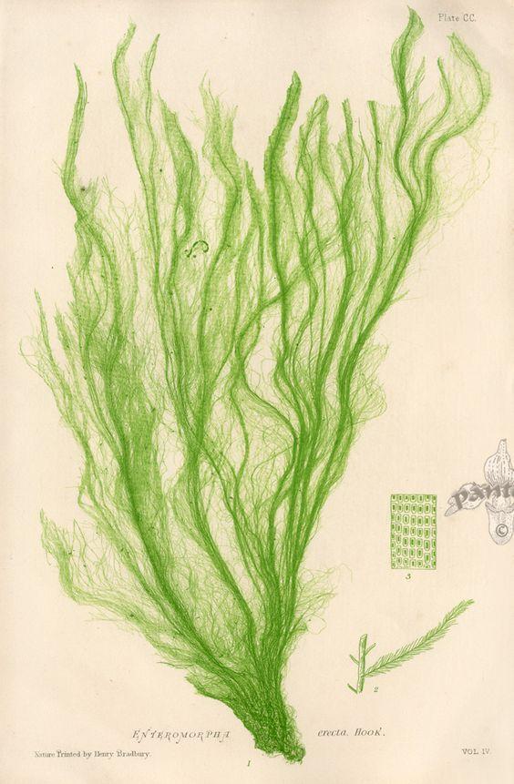 sea lettuce enteromorpha compressa seaweed pinterest lettuce inktober and prints. Black Bedroom Furniture Sets. Home Design Ideas