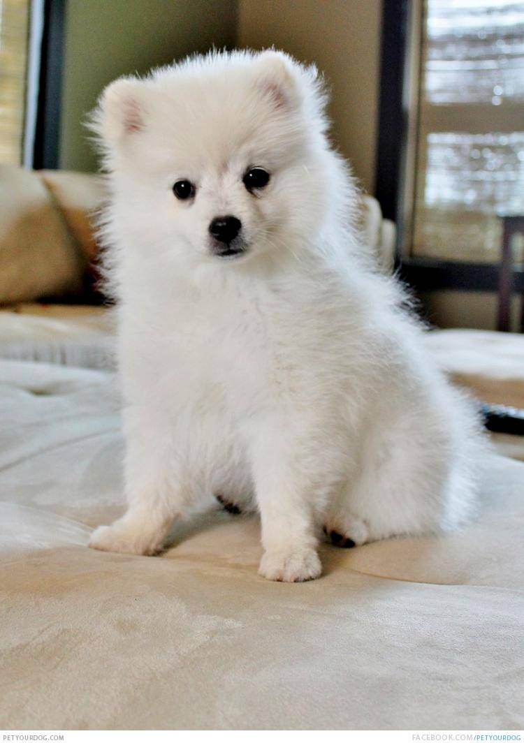 toy american eskimo dog for the of love white toy dog