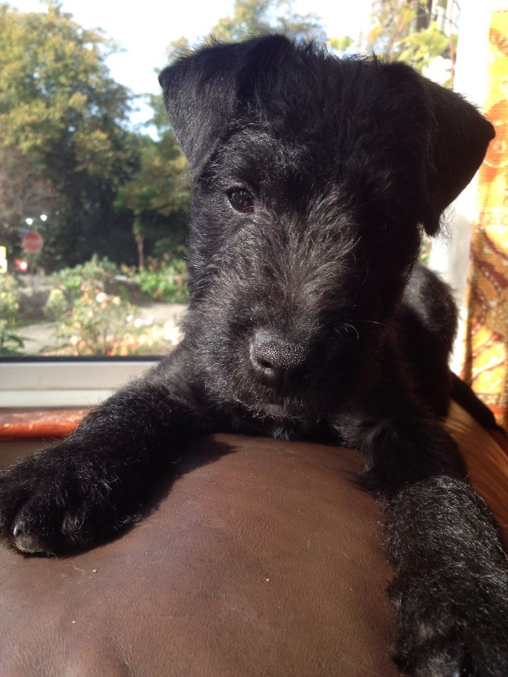 This Is Guss Our Patterdale Lakeland Terrier Cross Enjoying The