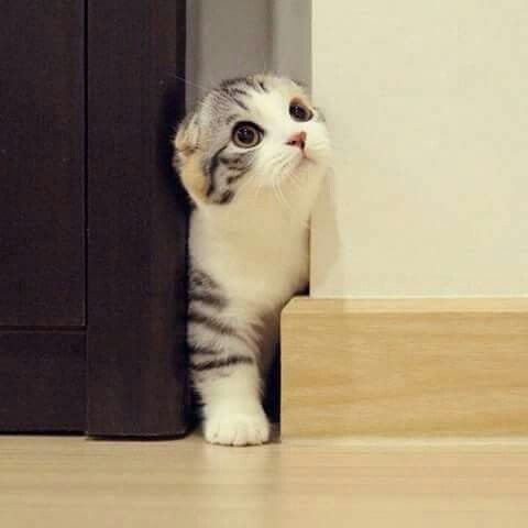 Scottish fold - What more to say other than we just LOVE cool stuff!