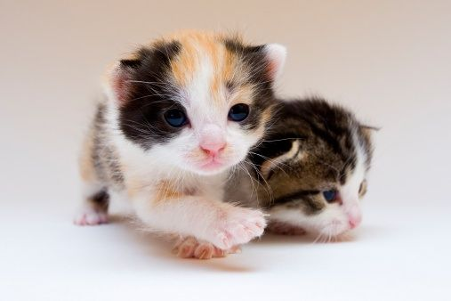 Quick Cat Quiz For Cat Lovers Calico Kittens Newborn A Care2 Healthy Living Small Cat Breeds Calico Kitten Cat Breeds