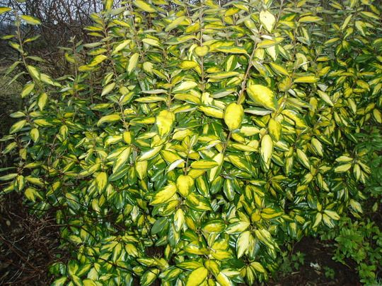 elaeagnus ebbingei 39 limelight 39 mar chal elaeagnus pinterest best shrub and garden. Black Bedroom Furniture Sets. Home Design Ideas