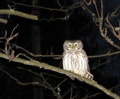 Eurasian pygmy owl spotted