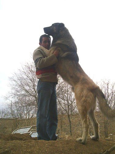 Iranian Beardog (Sage Mazandarani) - Gaplan - Molosser Dogs