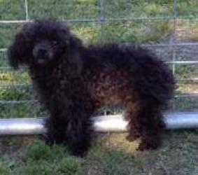 Adopt Peppy On Poodle Dog Dog Adoption Dogs
