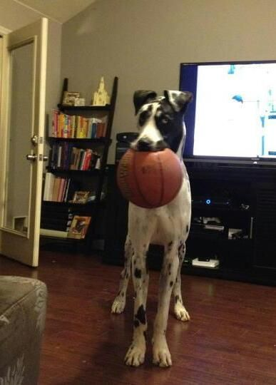 My Great Dane Leo Playing With His Full Sized Basketball No