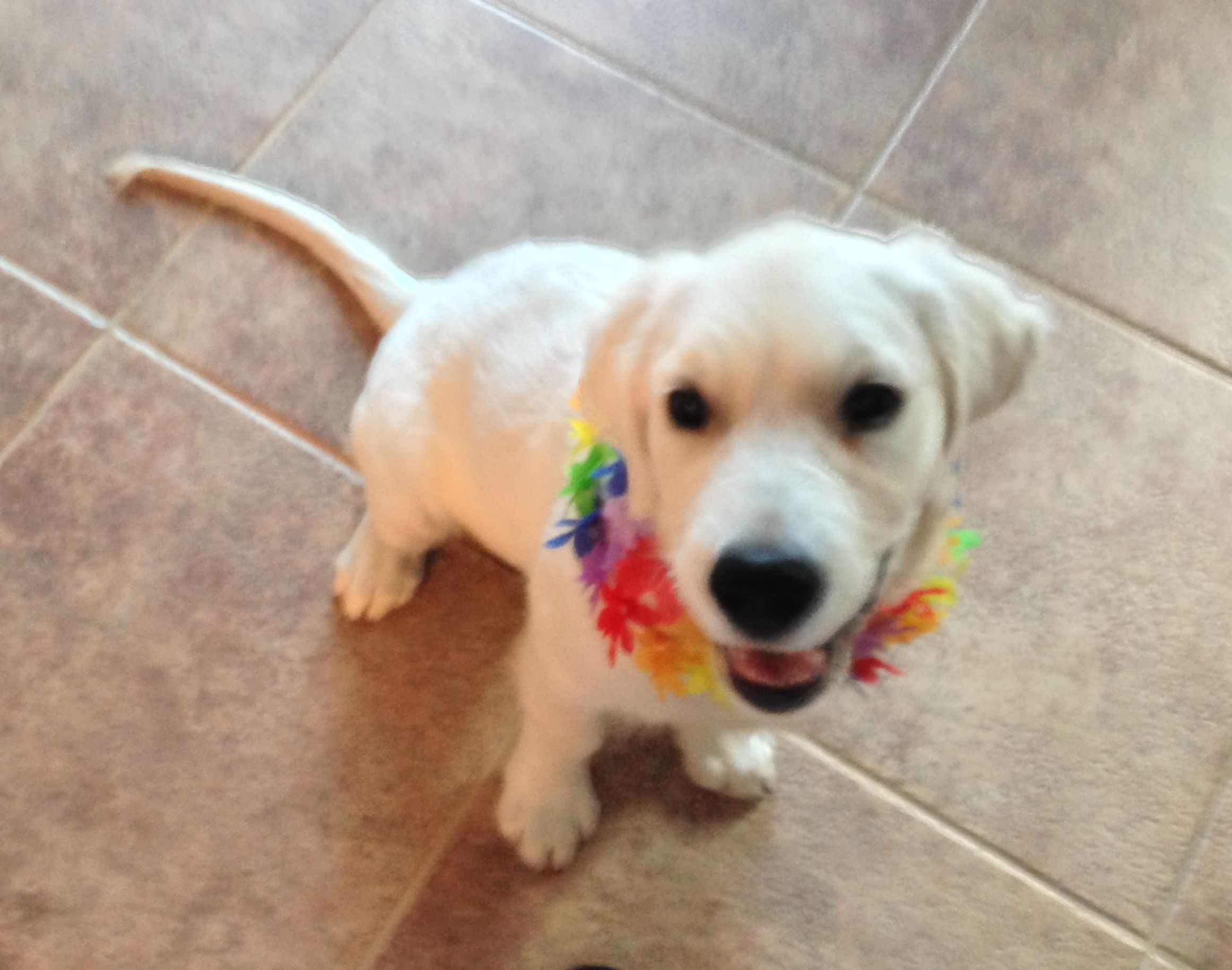 Hawaiian Day For White Golden Retriever Puppy Sampson Of Sw