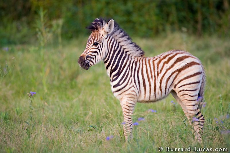Baby zebra | Baby Zebra - Photo Picture Image | BABY ...