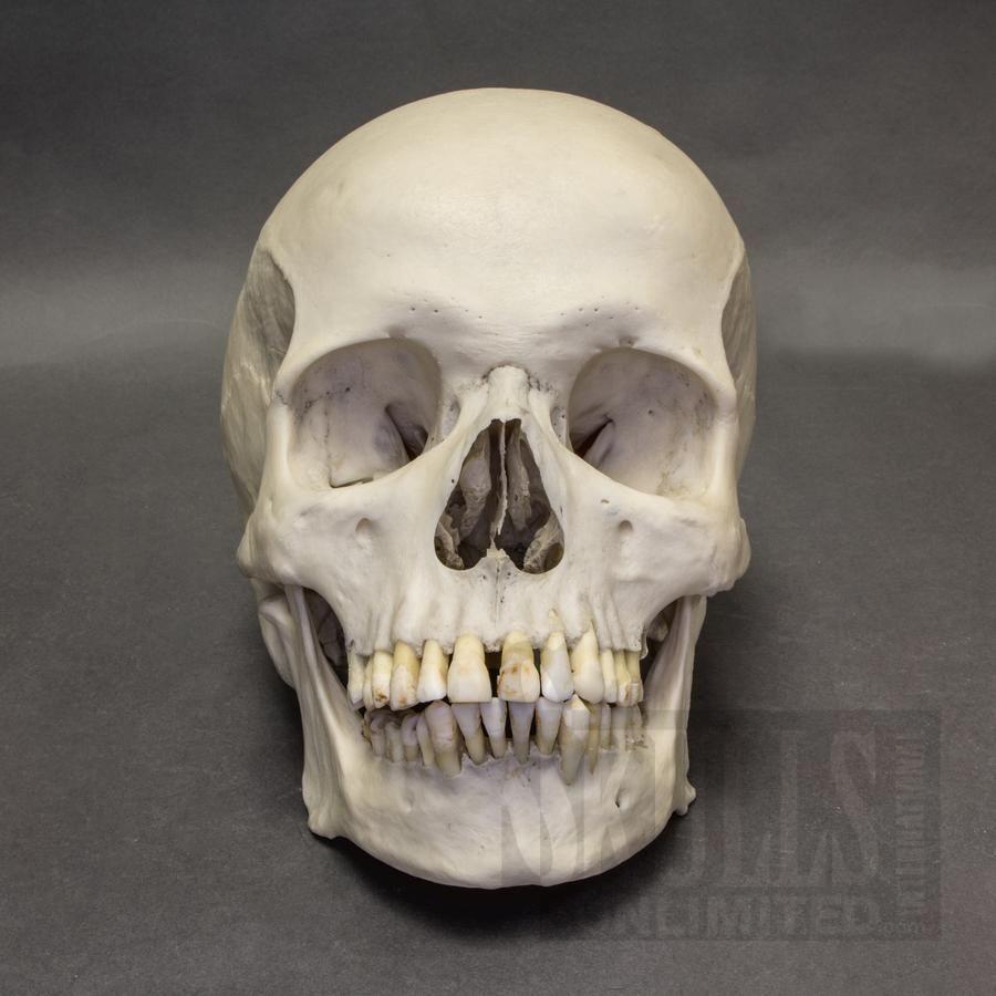 Real Human Skull Shrunken Head Animal Bones Skull t