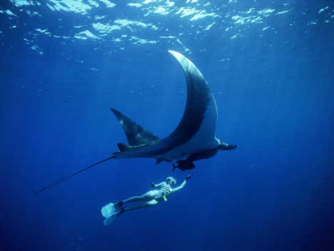 Diving with giant Manta rays in the Manta Point located in the