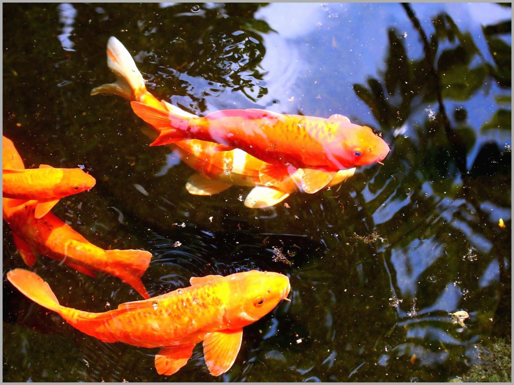 Koi Fish Live Wallpaper Free Download For Windows 7 Koi Fish Hd Hd Wallpaper Backgrounds Live Fish Wallpaper Underwater Wallpaper Koi Wallpaper