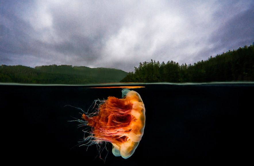 Lions mane jellyfish the pacific northwest is amazing to