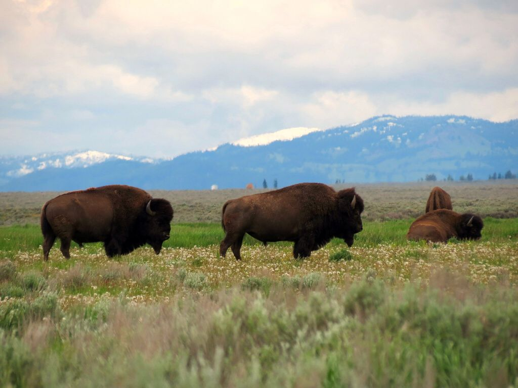 Pin by Jeanne Button on Bison Bison pictures, Grand