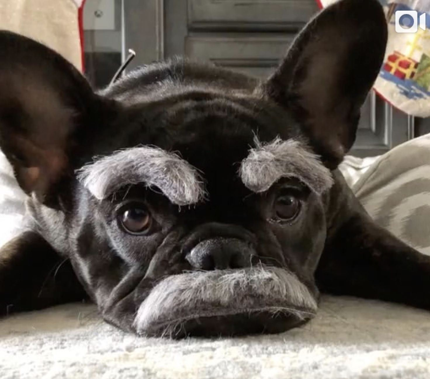 Pin by Ria Fisher on Dogs in 2020 French bulldog