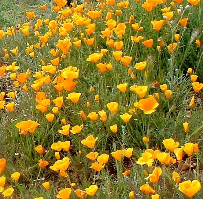 California Poppies Are Covering A Slope In In Central California