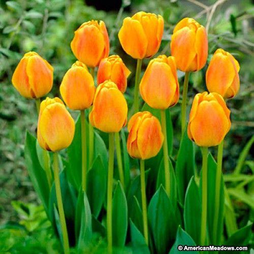 Tulipan Beauty of Apeldoorn