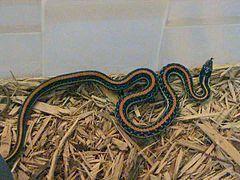 Texas Garter Snake Thamnophis Sirtalis Annectens The Garter