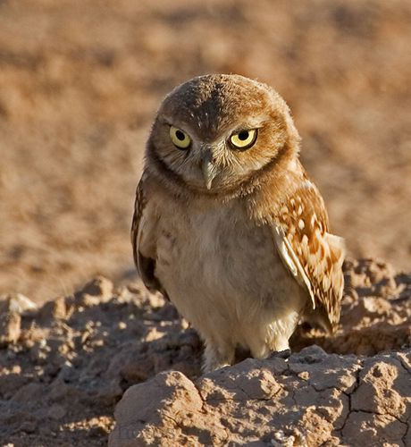 The Burrowing Owl Is Active In Daylight Usually At Dusk And Dawn It Nests Underground Abandoned Burrows Of Mammals Open Dry Grasslands