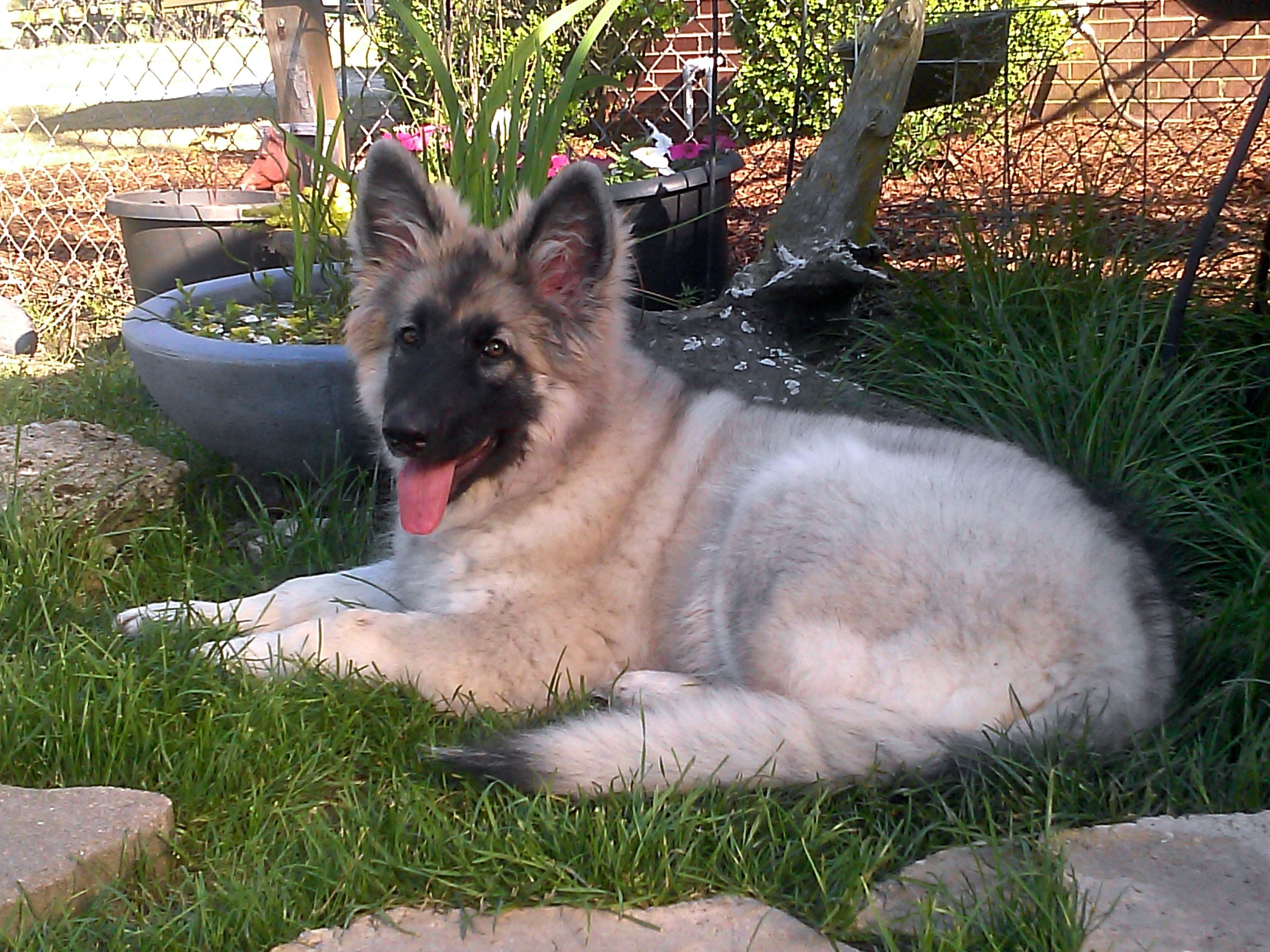 Shaylee my Shiloh Shepherd she is 4 months old now <3