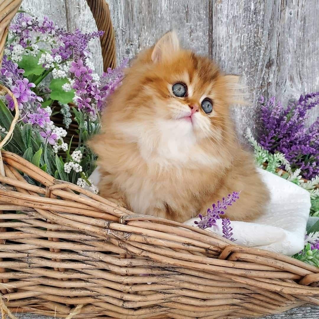 Pin On Chinchilla Golden Persian Kittens