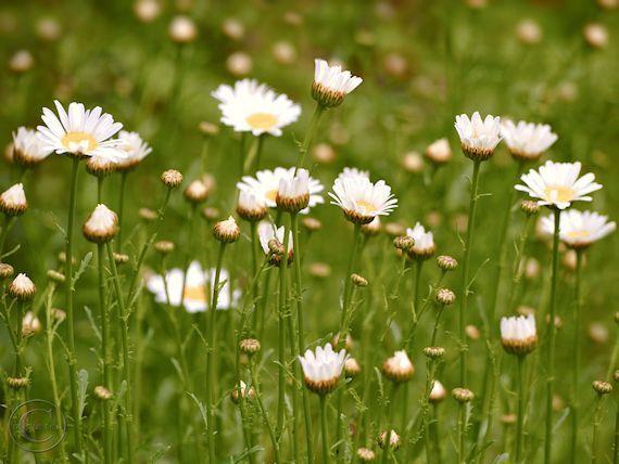 White Daisies Field of Flowers Print 9 X by BeneathNorthernSkies