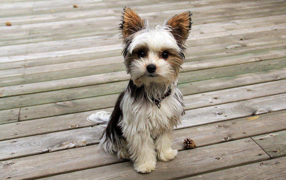 Biewer Terrier Mismarked Yorkie Or A Cross Of Yorkie Shih Tzu Rare Dog Breeds Terrier Breeds Terrier