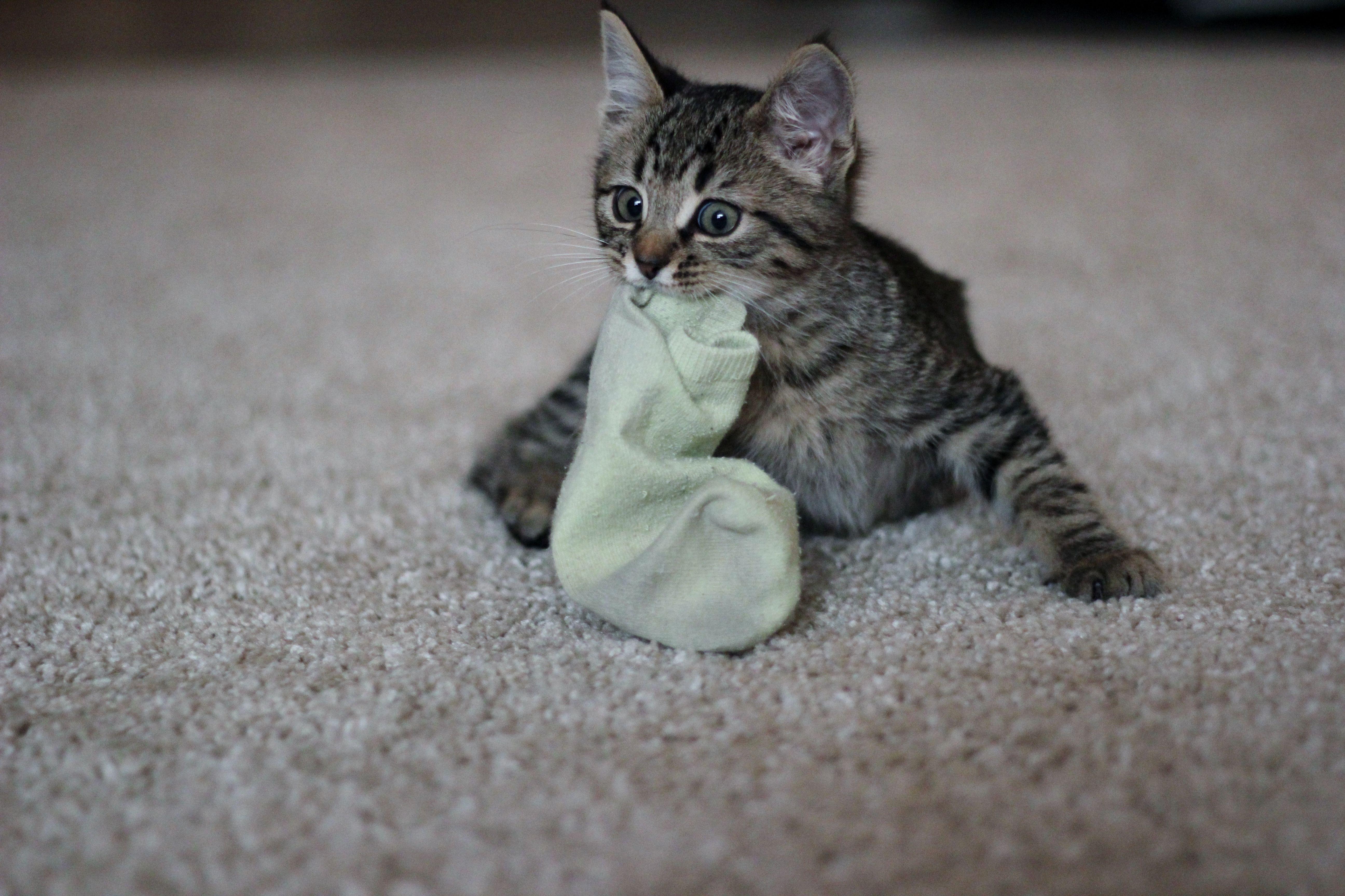 Cute Tabby Kitten Loves Socks I Likes Your Sokkies Tabby Kitten Kitten Love Tabby