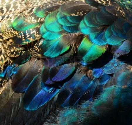 Pavone smeraldo peacock