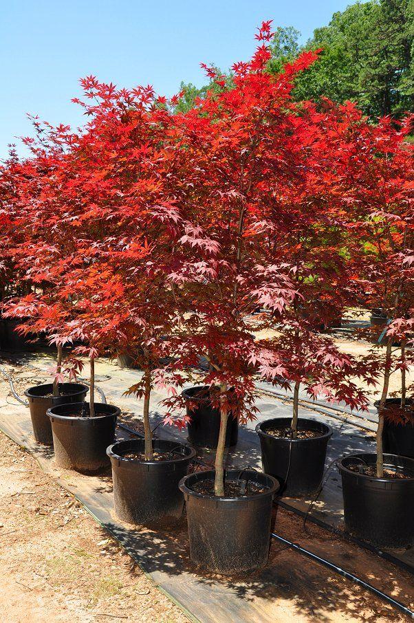 Fireglow Japanese Maple Acer Palmatum Fire Glow Diy Plant