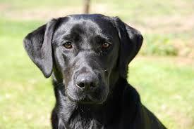 Image Result For Black Lab Golden Retriever Mix Dogs Pinterest