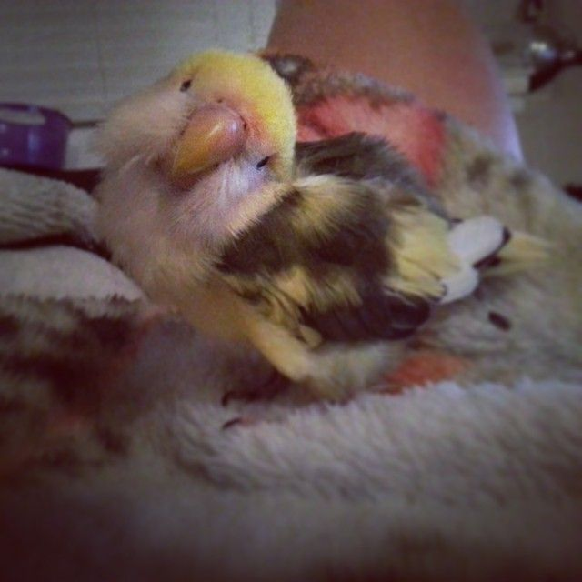 Chickadee the sweet, senior, blind, cuddling lovebird