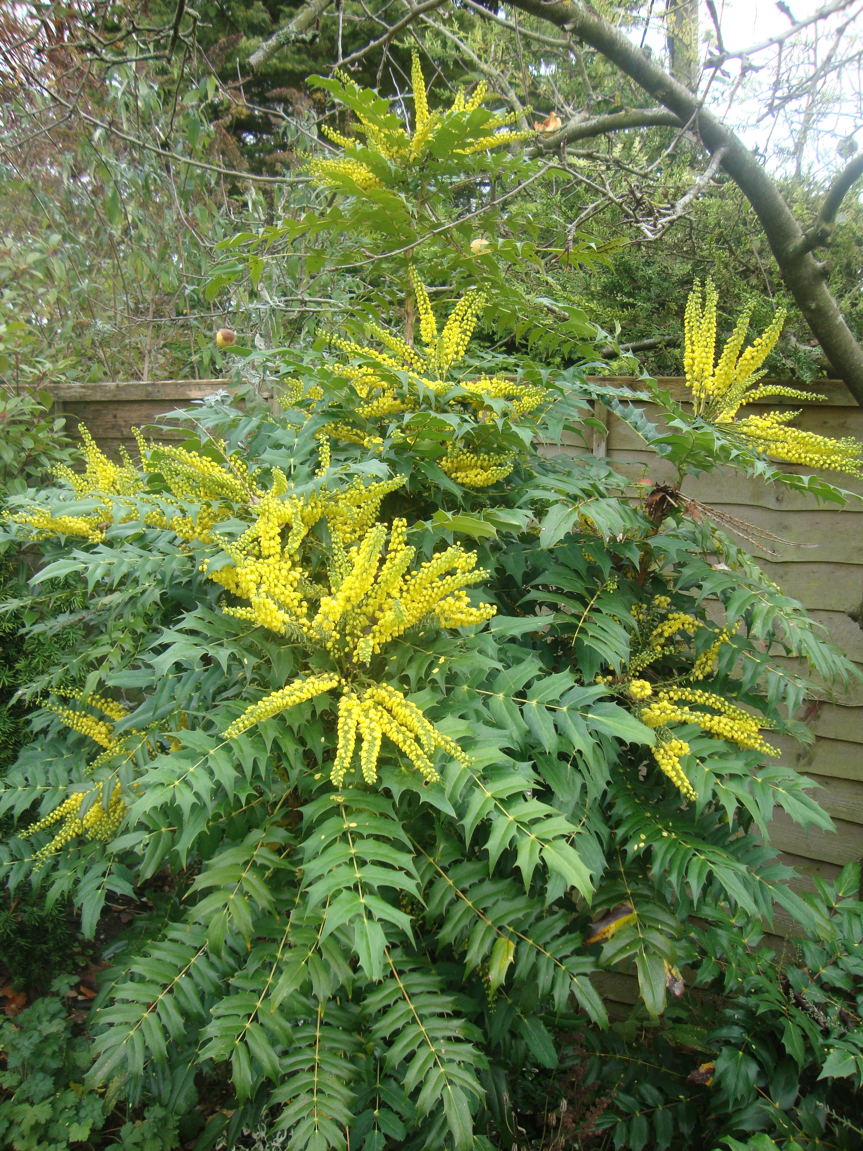 Mahonia japonica yellow flowers whose scent is for Garden trees with yellow flowers