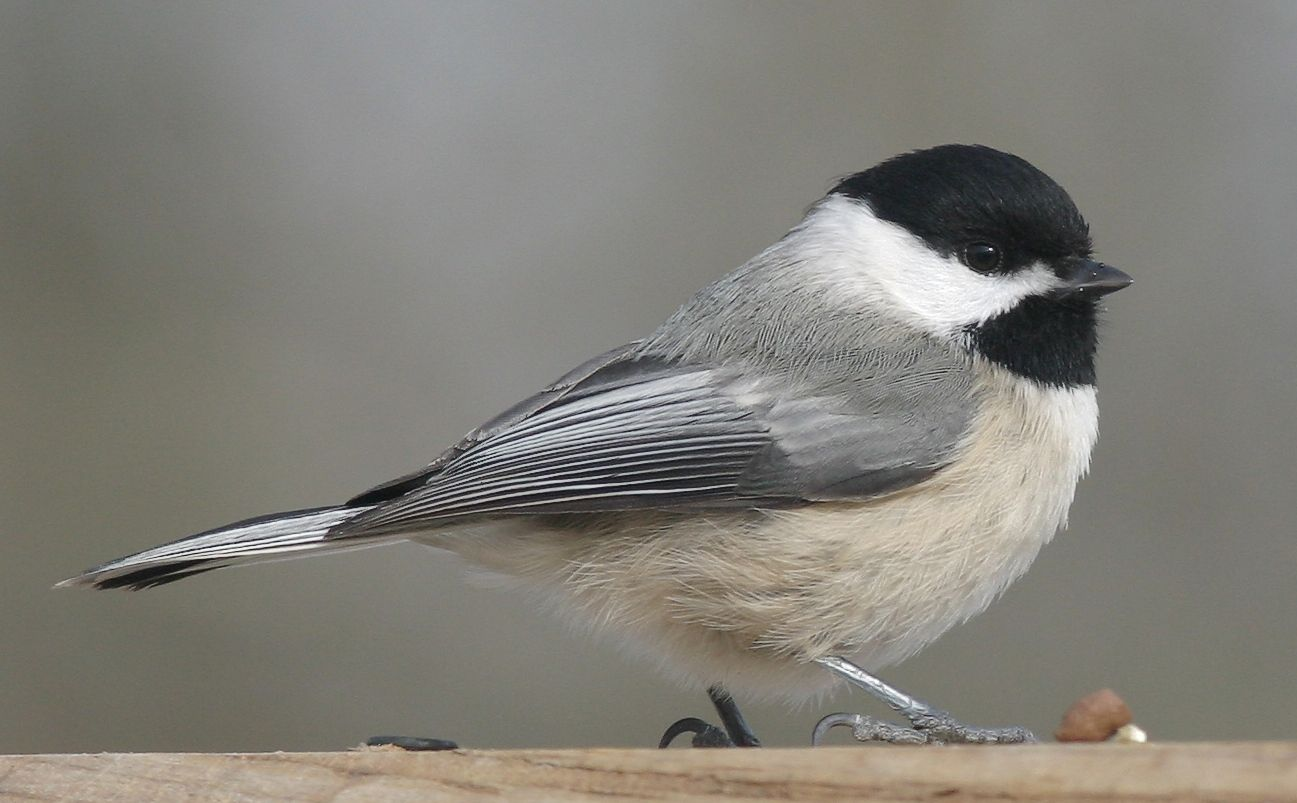 The chickadees are a group of North American birds in the ...