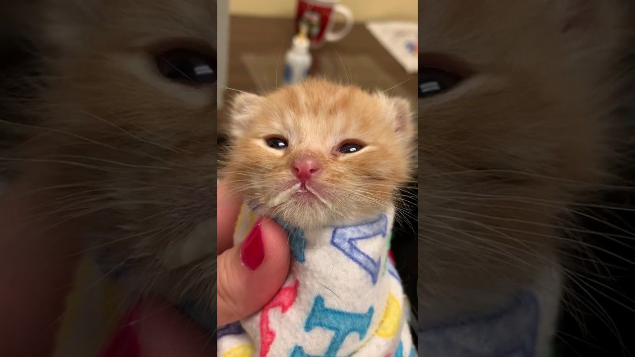 Jelibin Is A Kitten Who Was Rejected By His Mother And Taken To A Missouri Shelter It S Only One Day Old So You Have In 2020 How To Fall Asleep Little