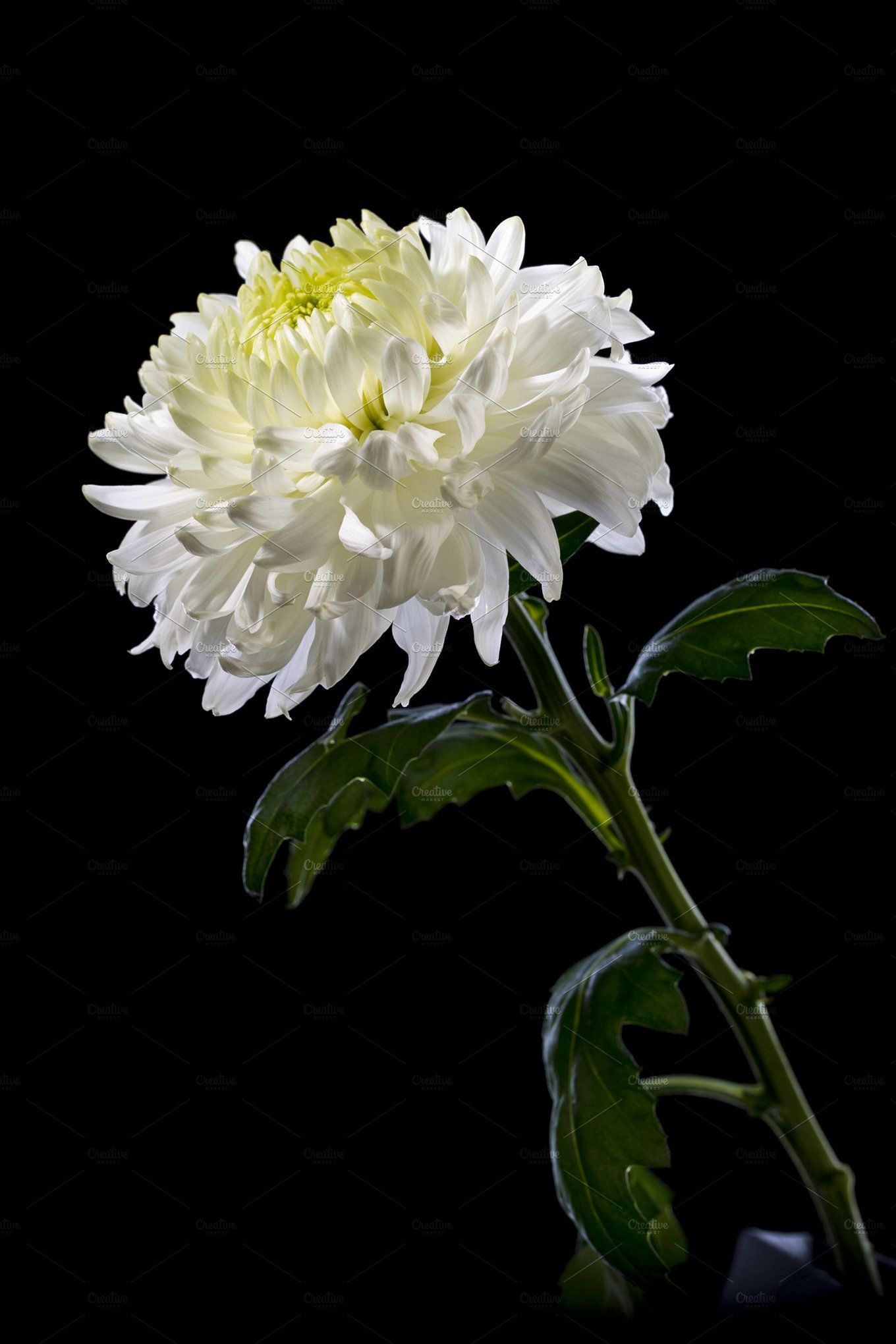 White Chrysanthemum On A Black Background In 2020 White Chrysanthemum Chrysanthemum Crysanthemum Flower