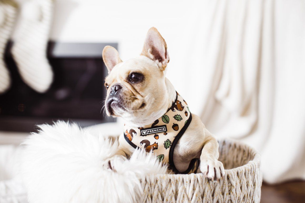 Frenchie Duo Reversible Harness Ahh Nuts Frenchie Bulldog