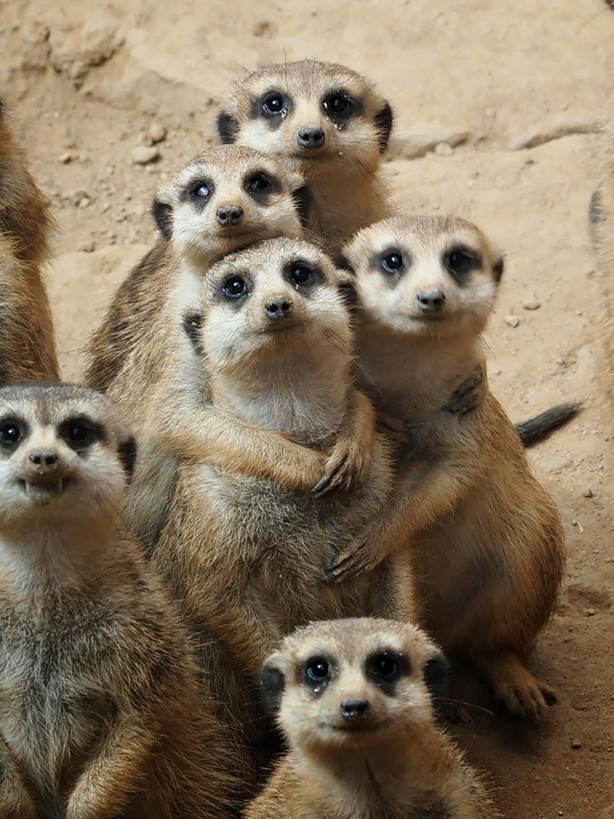 Awwww Cute Meerkat Group Hug かわいい動物の赤ちゃん 美しい動物 ミーアキャット