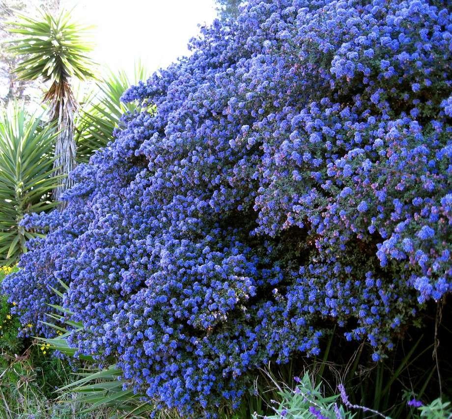 California Native Plant Landscape Design Examples: Image Result For Ceanothus