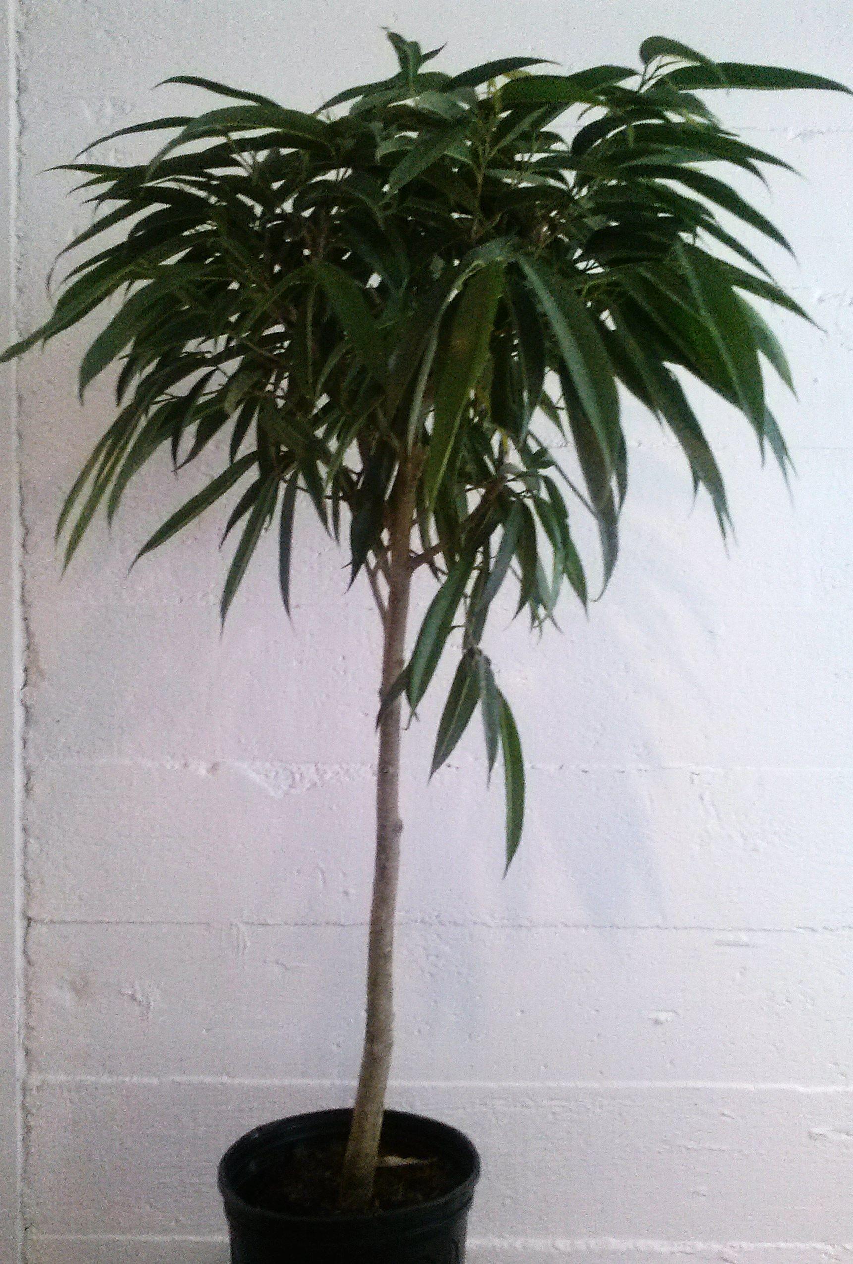 Ficus Alii Bog Plantsindoor