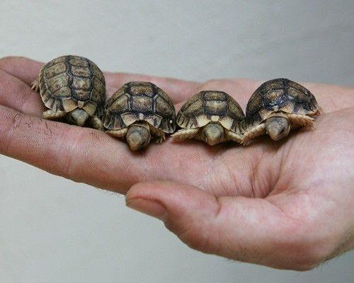 Egyptian tortoises